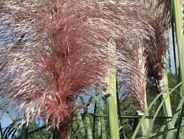 L'herbe des pampas, la plus spectaculaire des graminées vivaces