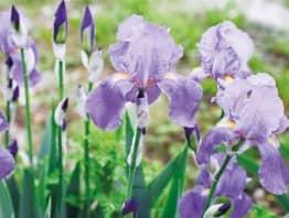 Envies de saison : le temps des iris est revenu
